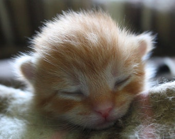 Newborn Orange Kitten Cat Photograph Fine Art Print