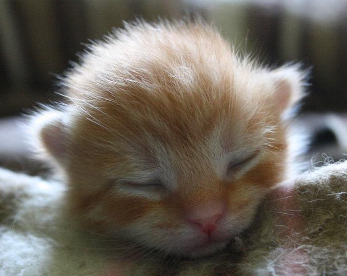 Newborn Orange Kitten Cat Photograph Fine Art Print