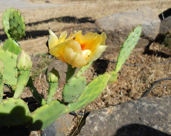 Prickly-pear Beautiful EASY TO GROW blooming yellow cactus