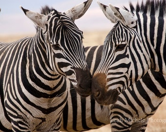 Zebra Photograph Fine Art Wall Decor