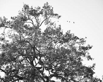 Giant Oak Fine Art Photography-  Black and White, Oak Tree, Nature, Dreamy Wall Decor - Wisdom Tree