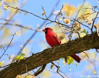 Summer Cardinal