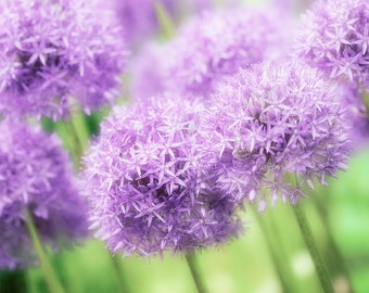 Nature Photography, Purple Allium, Flowers, Fine Art print, Home Decor.