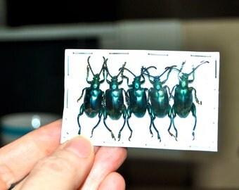 OVERSTOCK: Blue-Green Frog Beetles, lot of 5 Sagra femoralis