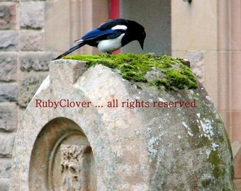 Magpie at Belfast Castle, Co Antrim, NORTHERN IRELAND, Irish Nature Photography, Curious Bird Poking at Moss Covered Stone, Blank Photo Card