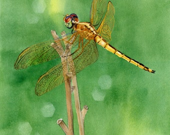 Dragonfly Golden winged Skimmer shimmers on a faded daylily stem.