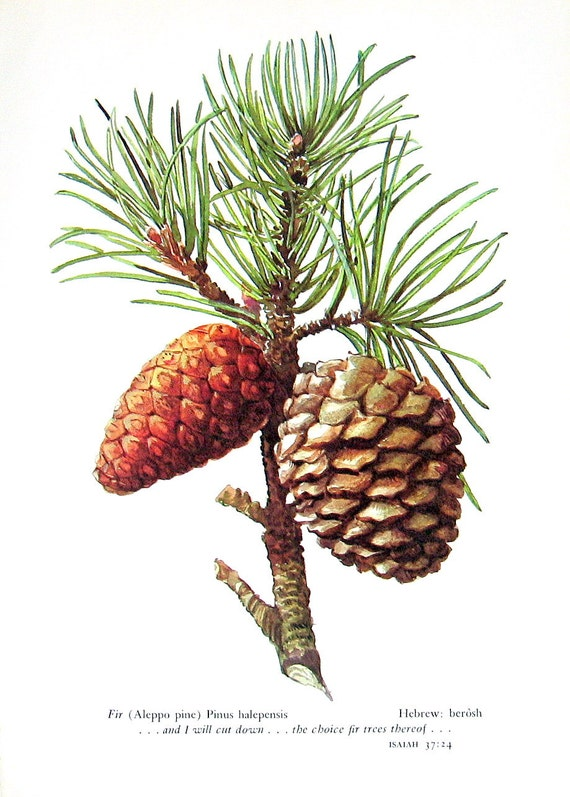 Pine Cone Illustration Fir Aleppo Pine: Vinta...
