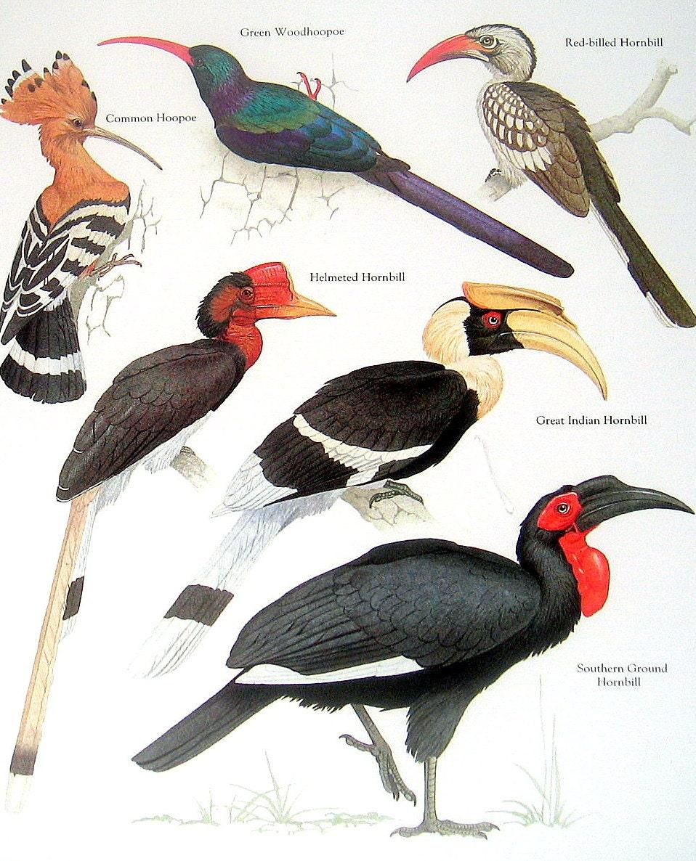 Indian Hornbill Drawing Southern Ground Hornbill