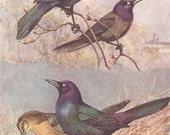 Vintage Bird Print, Book Plate, Grackles, Purple Grackle, Boat Tailed Grackle, Allan Brooks, Antique Bird Illustration, 1930s
