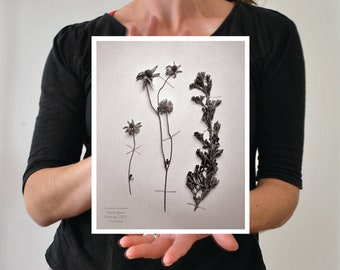 Flannel flower photograph botanical print 8x10 with white border