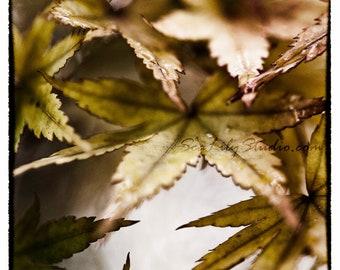 Japanese Maple IV : surreal photo leaf macro photography contrast black green brown home decor 8x8 10x10 14x14 16x16 20x20 24x24 30x30