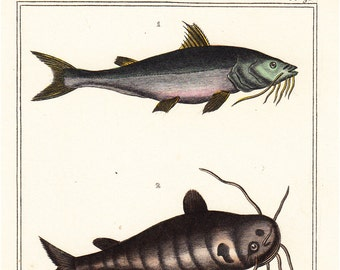 1869 Antique fine FISHES engraving of a pimélode commersonnien, Pimélode the cat, the pimélode speckled fish, 143 years old nice print