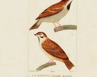 1830 Antique PASSERINE BIRDS  engraving, perching birds, songbirds, Original antique hand colored 183 years old rare print
