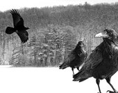 Black Ravens and the Winter of Discontent on a Frozen Lake surrounded by Winter Woods No.0228 Black and White Fine Art Photograph