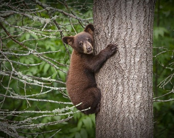 Black Bear Cub climbing a Tree Trunk in The North Minnesota Woods at Vince Shute Sanctuary No.3631 - A Fine Art Wildlife Nature Photograph