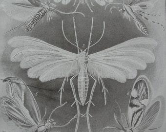 Moths sepia print 1911
