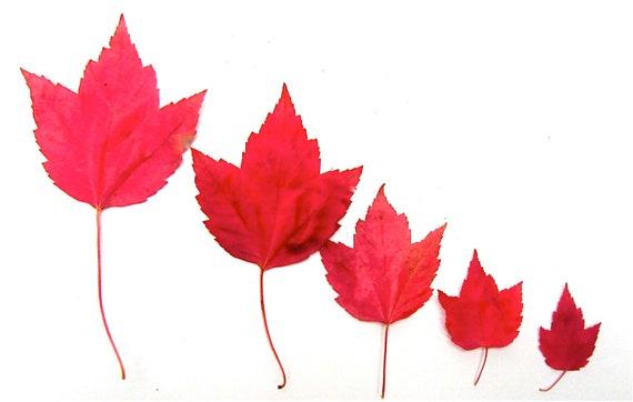 DIGITAL DOWNLOAD Nature Photography minimalist macro botanical red, red orange, dark orange maple leaves 'Fall Lineup'  Autumn