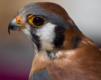 Kestrels. American Kestrel. Falcons. Birds of Prey. Raptors. Wildlife Images. Photography by Liz Bergman. Liz and Rich Photography.