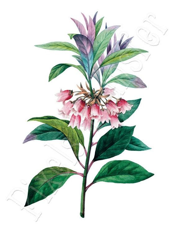 PINK BELLS flowers Instant Download, Enkianthus digital download Redoute 121