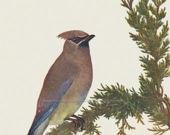 Bird Fabric Block - Cedar Waxwing Songbird - Repro from Prang 1889 Image