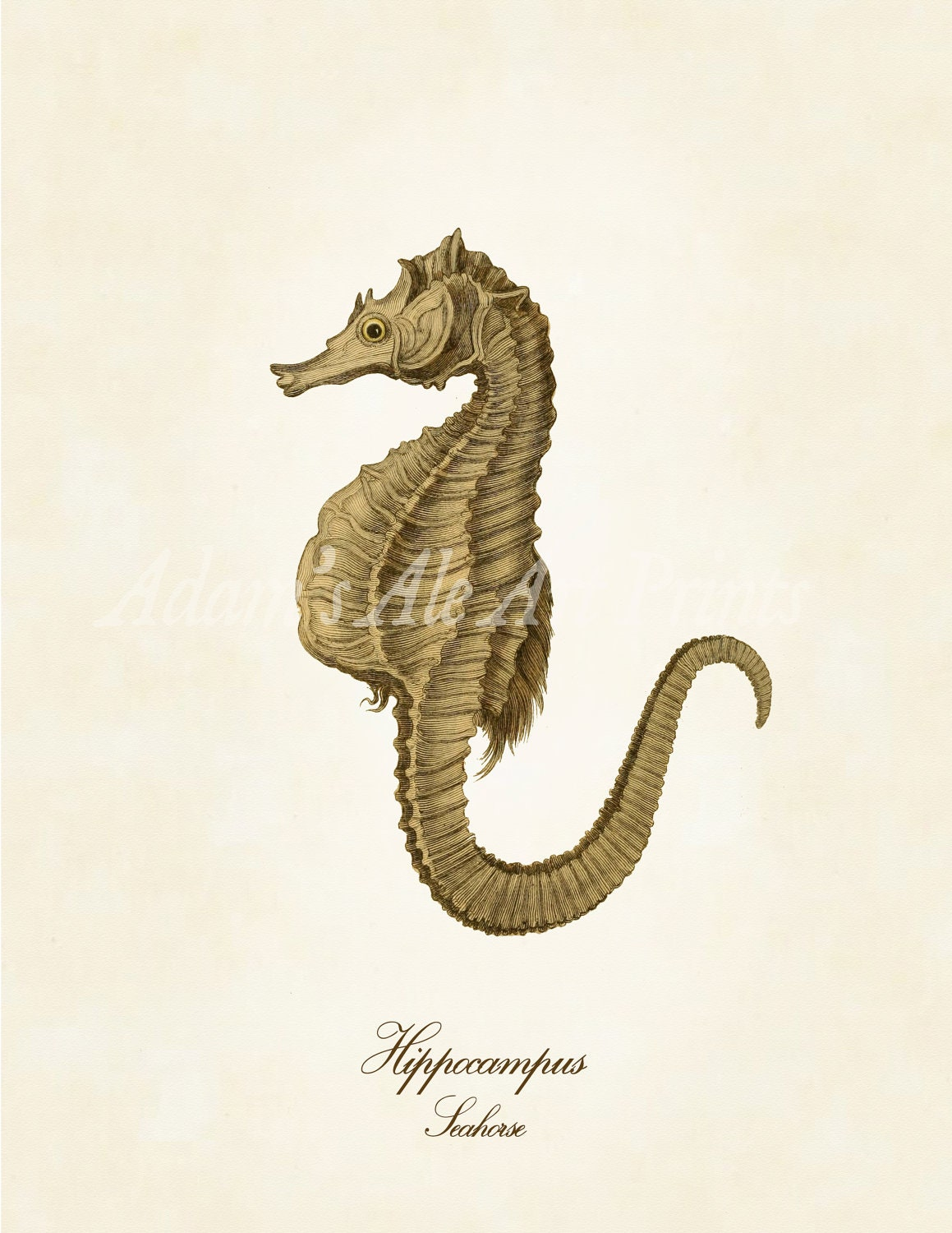 Sweet Seahorse Art Print or Poster from Vintage Scientific