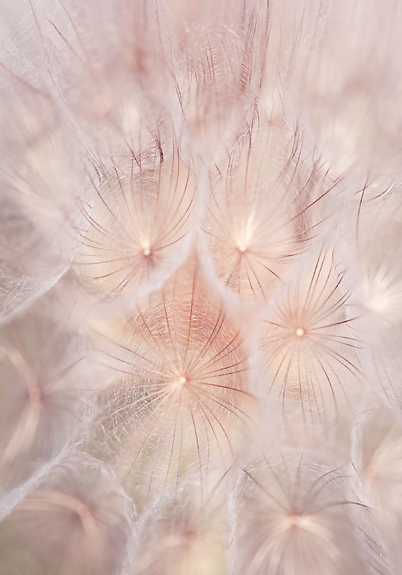 Pink Wall Art blush pink wall art nature photography dandelion wall art