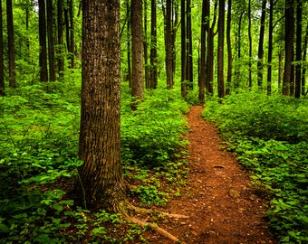 Path through a lush forest in Shenandoah National Park - Nature Photography Fine Art Print or Wrapped Canvas Home Decor