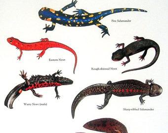 Asian Salamander, Fire Salamander, Eastern Newt, Hellbender Vintage 1980s Book Plate Page