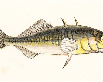 1865 Victorian FISH print, Three-spined stickleback, tinker, nice fine antique chromolithograph