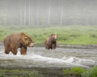 Grizzly Bears crossing a Stream in Yellowstone National Park in Wyoming No. 2441 - A Wildlife Fine Art Landscape Photograph