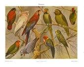 Parrots Offset Lithograph 1923  Psittacoidea