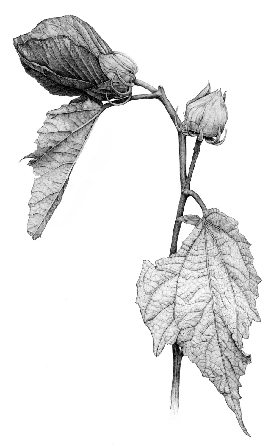 Hibiscus Botanical Illustration Archival By