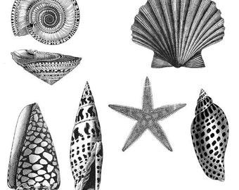 SEA SHELLS Illustrations Black & White Line Art Vintage Victorian Downloadable Printable Digital Collage Sheet TV635