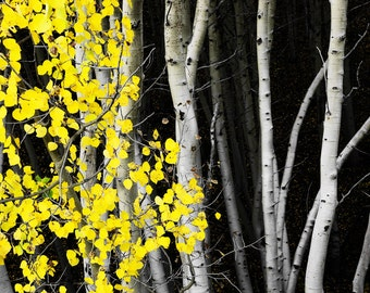 Aspen Trees Fall Golden Yellow Leaves Autumn Evening Forest  Leaves Colorado Rustic Cabin Lodge Photograph