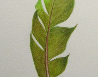 Vivid green and olive feather -- original coloured pencil drawing