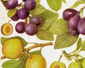 Sweet Plum Greengage Fruit Chart Food Botanical Lithograph Illustration For Your Vintage Kitchen 67