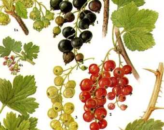Currant Gooseberry Berry Fruit Chart Food Botanical Lithograph Illustration For Your Vintage Kitchen 81