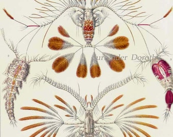 Copepod Formations Haeckel Vintage Print Natural History Oceanography Victorian Scientific Lithograph To Frame