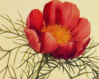 Single Red Peony Paconia Tenuifolia Redoute Flower Vintage Illustration Wildflower Lithograph Botanical Print To Frame 52