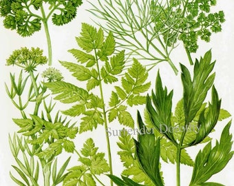 Plant farm crop etsy - Tips planting herbs lovage parsley dill ...