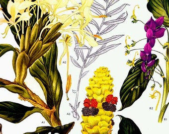 Ginger Orchid Plant Flowers South East Asia Botanical Exotica 1969 Vintage Lithograph Illustration Print To Frame 124
