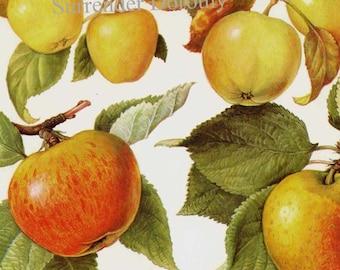 Heirloom Apple Chart Fruit Flowers Botanical Lithograph Food Illustration For Your Vintage Kitchen 49