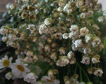 FEVERFEW naturally DRiED herb  STEMS BUNCHES