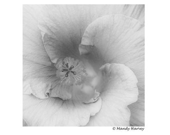 Hibiscus Flower In Bloom, 5x5 photograph. Home Decor, Abstract, Fine Art, Black And White