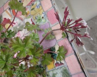 Nutmeg Scented Geranium Plant