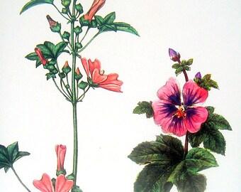 Mallow 1973 Wildflowers Print Vintage Color Illustration