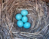 Photo Print Bluebird Nest 4 x 6, 5 x 7, or 8 x 10