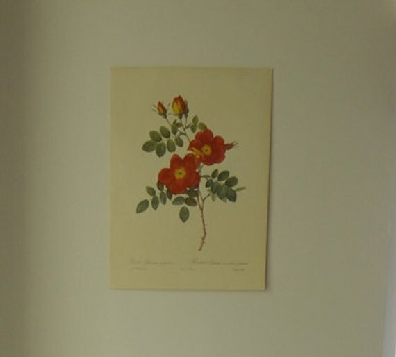 Pierre Joseph Redoute Roses Large 1956 Vintage Print - Cottage Chic - EnglishPreserves