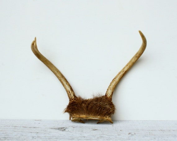Small Vintage Deer Antlers with Skull Piece and Fur