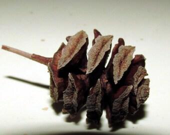 Pine Cones Pinecones Dawn Redwood - 160